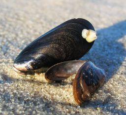 mussla